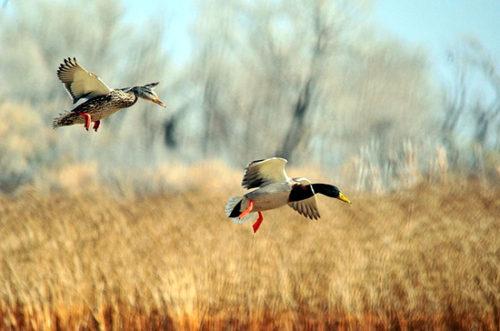 Установлены периоды весенней охоты в 2018 году